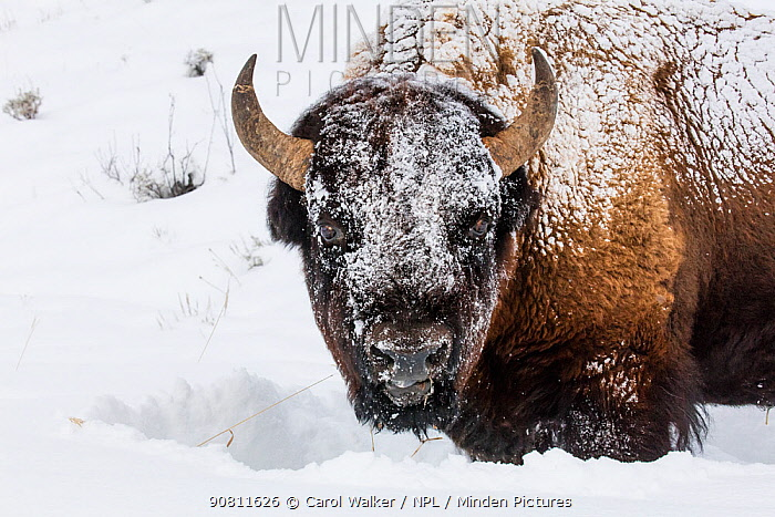 Bison (Bison bison) standing in winter, covered in snow, Yellowstone, USA. January.