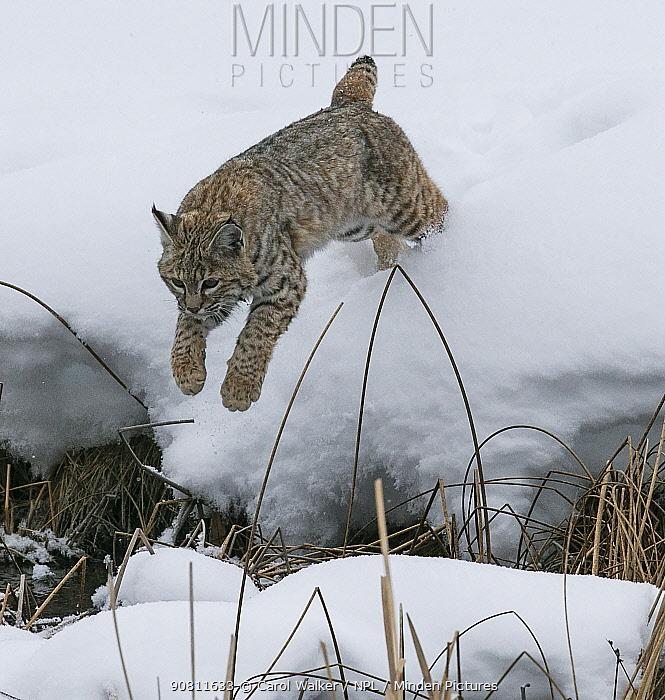 Bobcat (Lynx rufus) jumping in winter snow, Yellowstone, USA. January.
