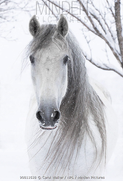 Head portrait of grey Andalusian mare with long mane in snow, Berthoud, Colorado, USA. January.