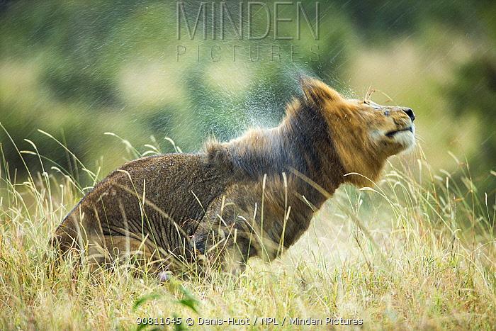 Lion (Panthera leo) male in rain, shaking head. Masai-Mara Game Reserve, Kenya.