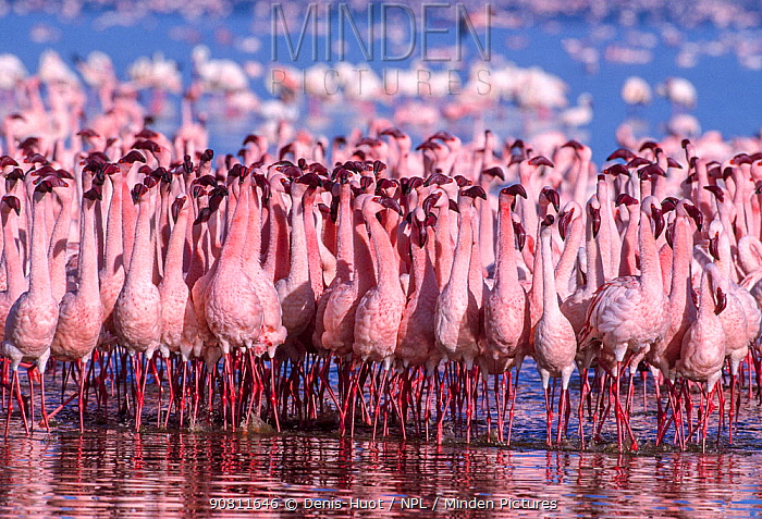 Lesser flamingo (Phoeniconaias minor), males displaying. Lake Nakuru, Kenya.