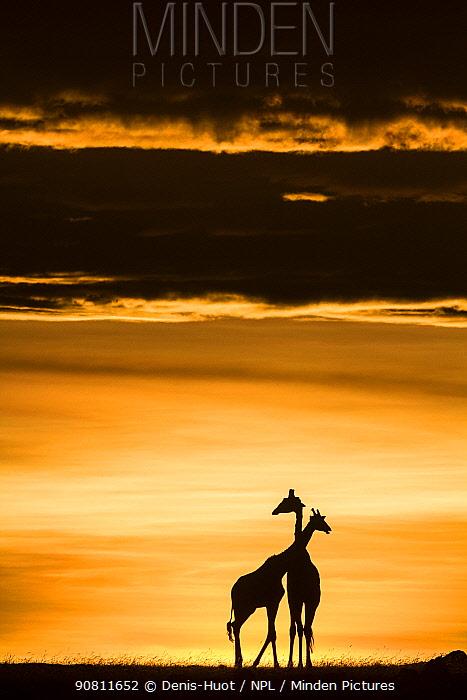 Masai giraffe (Giraffa camelopardalis tippelskirchi) pair at sunrise. Masai-Mara Game Reserve, Kenya.