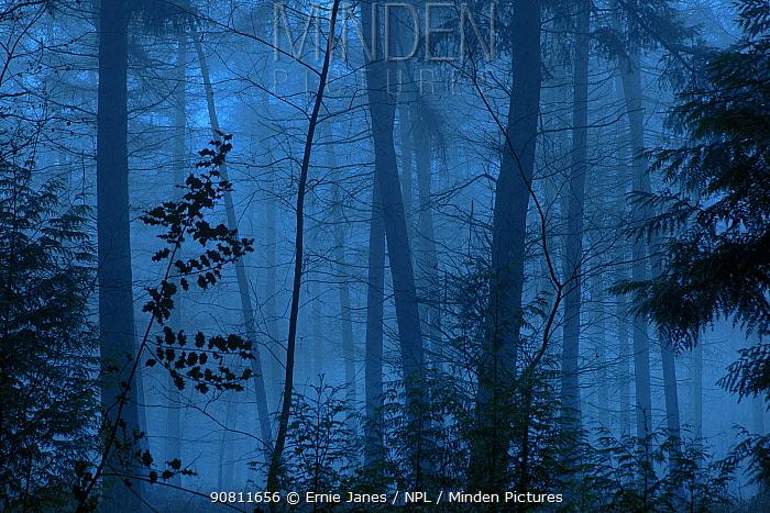 Conifer woodland in mist, Norfolk, England, UK, January.