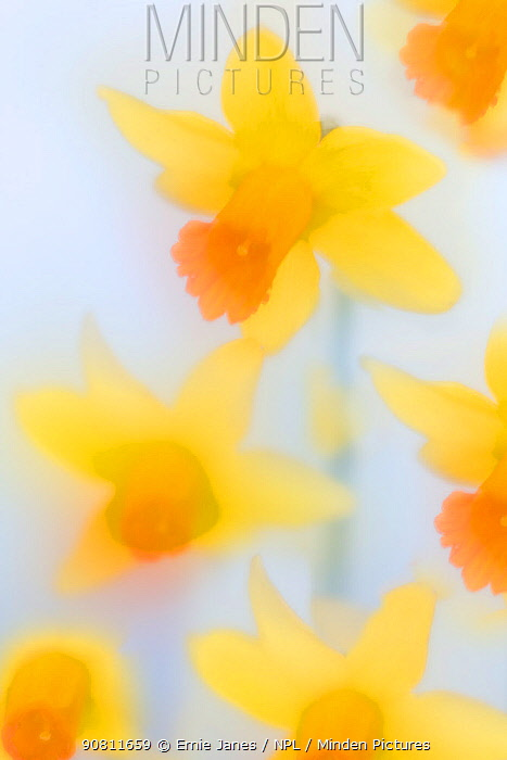 Daffodils (Narcissus) in flower photographed using soft focus technique