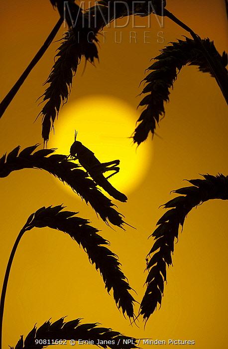 Desert locust (Schistocerca gregaria) at sunset in cereals. Controlled conditions.