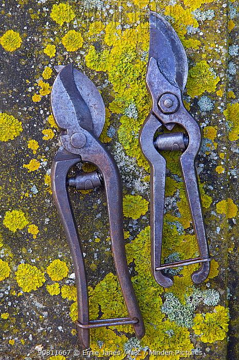 Old garden secateurs on lichen.