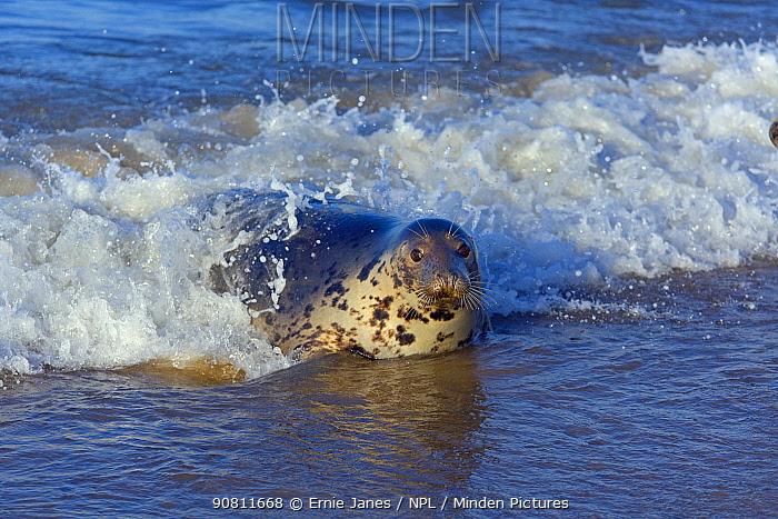 Grey seal (Halichoerus grypus) in breaking waves Blakeney Point, Norfolk, England, UK, December.