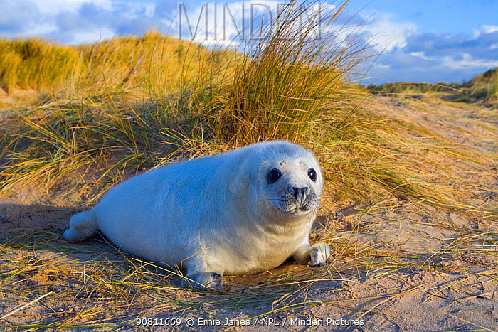 Grey seal (Halichoerus grypus) pups on Norfolk Beach, England, UK, December.