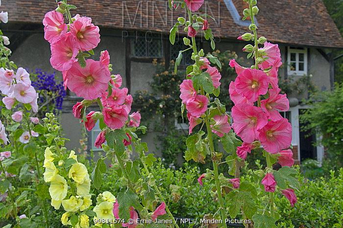 Hollyhock (Alcea) flowers in Hambleden Village Buckinghamshire, England, UK, July