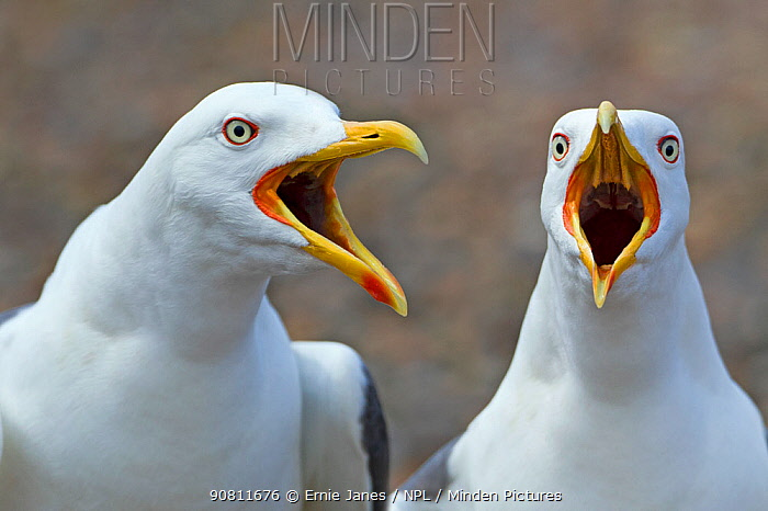 Lesser black-backed gulls (Larus fuscus) calling from shoreline, beaks open, England, UK, May.