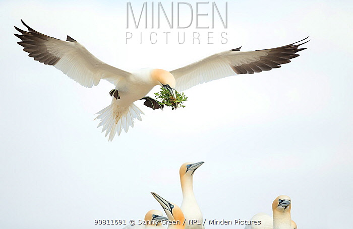 Gannet (Morus) in flight, Great Saltee, County Wexford, Ireland. April .