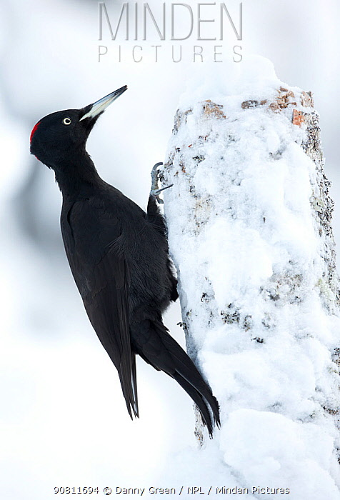 Black Woodpecker (Dryocopus martius) in snow perched on tree stump. Finland. February .