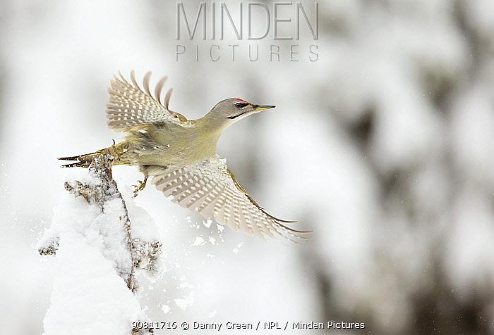 Grey headed woodpecker (Picus canus) in flight, Finland. February.