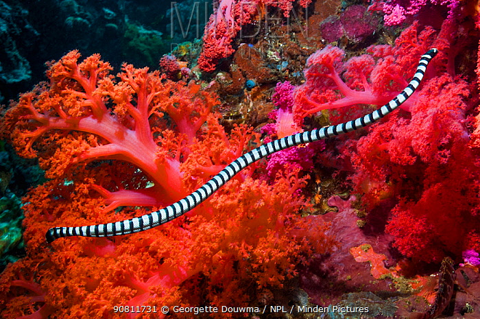 Banded sea snake (Laticauda colubrina) swimming over coral reef. Cebu, Malapascua Island, Philippines.