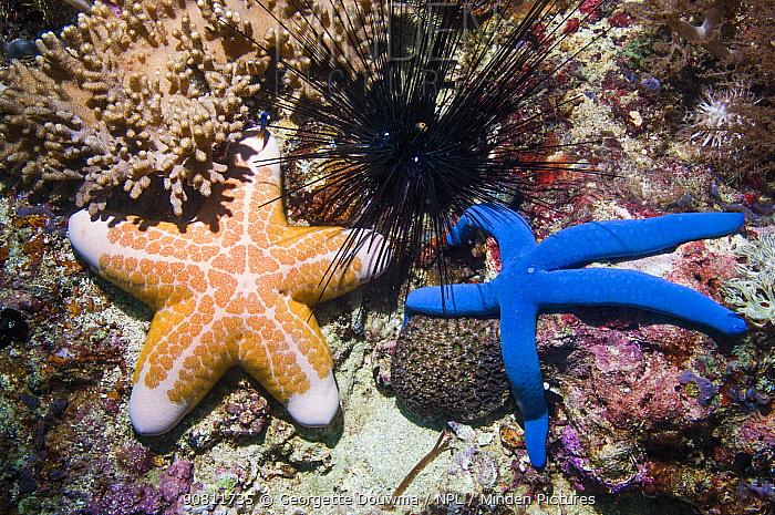 Blue starfish (Linckia laevigata) and Pink cushionstar (Coriaster granulatus) and Long spined urchin (Diadema setosum). Cebu, Malapascua Island, Philippines.
