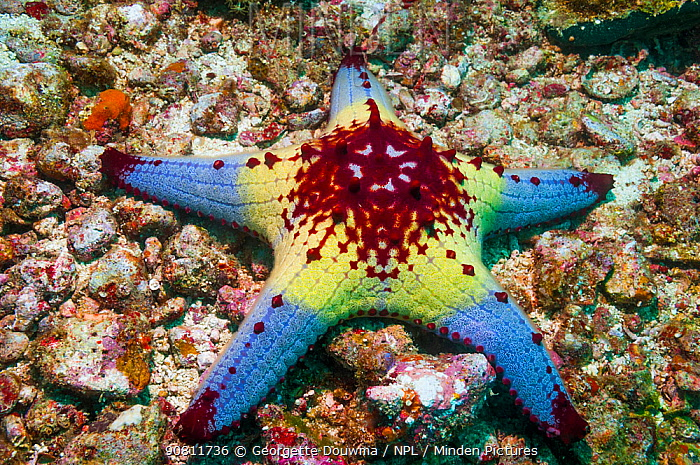 Honeycomb or Cushion starfish (Pentaceraster alveolatus). Oreasteridae. Malapascua Island, Philippines.