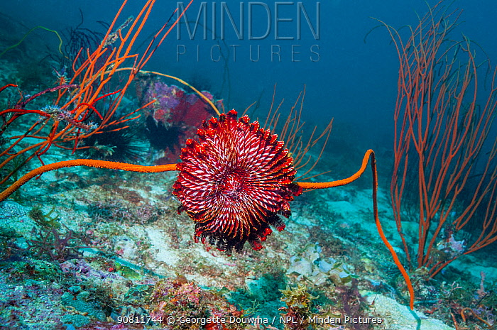 Crinoid or featherstar on coral reef, Malapascua Island, Philippines.