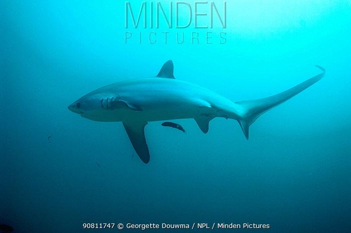 Thresher shark (Alopias pelagicus) swimming with cleaner wrasse fish. Malaspascua, Philippines.