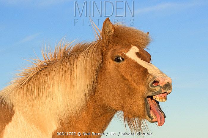 Icelandic horse showing flehmen response, Iceland. July.
