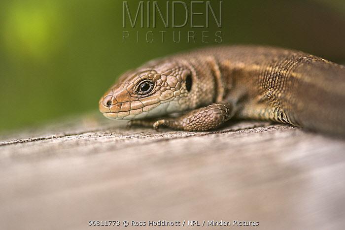Viviparous or Common Lizard (Lacerta vivipara) basking on wood, Meeth, Devon,UK. June.