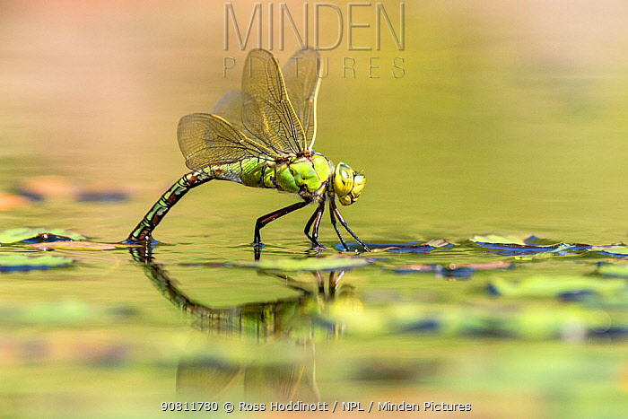 Female emperor dragonfly (Anax imperator) laying eggs on garden pond, Broxwater, Cornwall, UK. July .