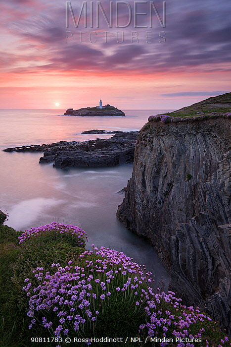 Godrevy Lighthouse and flowering pink thrift (Armeria maritima), nr Hayle, Cornwall, UK. May.