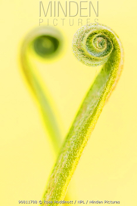 Harts tongue fern (Phyllitis scolopendrium) leaf unfurling and creating the shape of a heart, Cornwall, UK, May.