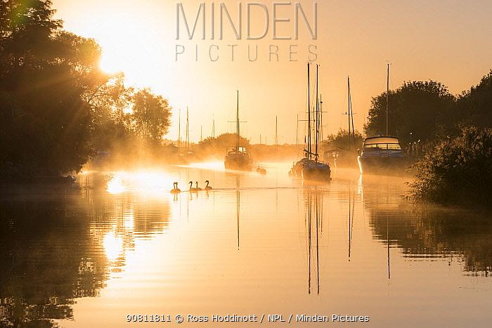 Wareham quay at sunrise, mist and family of mute swans, Dorset, UK. September .
