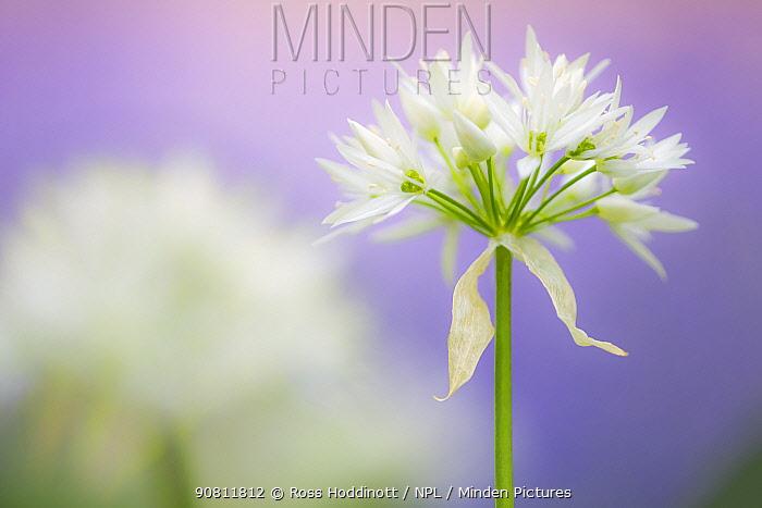 Wild garlic (Allium ursinum) flower close-up, Lanhydrock woodland, Cornwall, UK. May.