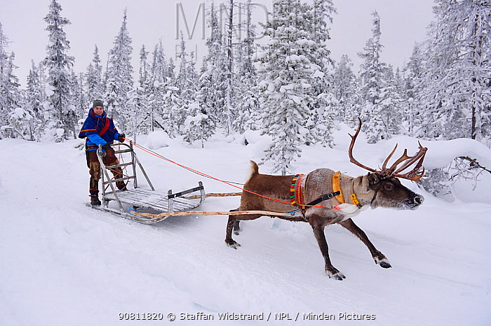 Reindeer sledding with Sami reindeer herdsman in -25 degrees. Jukkasjarvi, Lapland, Laponia, Norrbotten county, Sweden. January 2016.