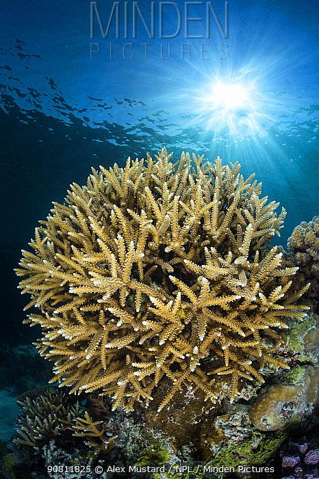 Coral head (Acropora sp.) and sunburst. Rock Islands, Palau, Mirconesia. Tropical west Pacific Ocean.
