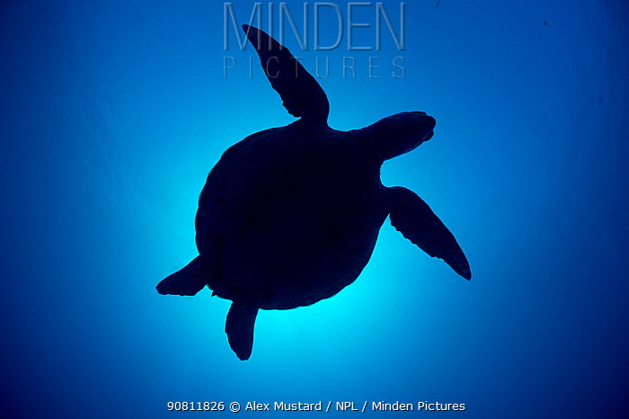 Silhouette of a Green sea turtle (Chelonia mydas) against sun in blue water above coral reef. Rock Islands, Palau, Mirconesia. Tropical west Pacific Ocean.