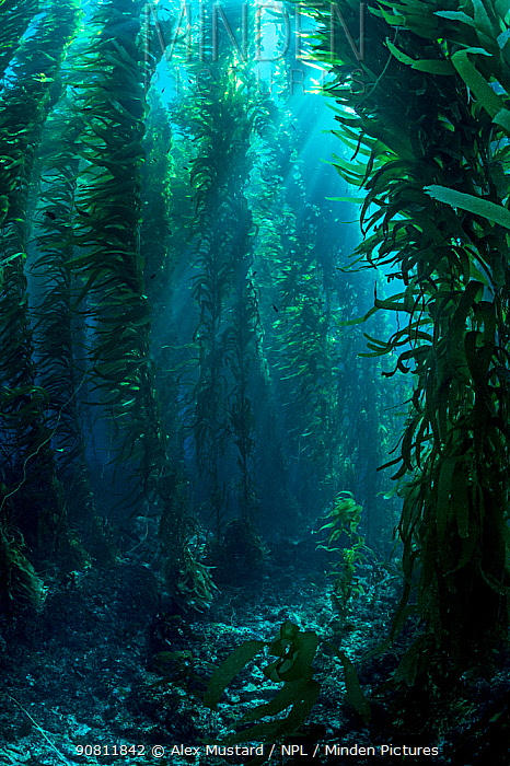 View through giant kelp (Macrocystis pyrifera) forest. Santa Barbara Island, Channel Islands. Los Angeles, California, United States of America. North East Pacific Ocean.