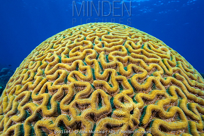 Boulder brain coral (Colpophyllia natans) growing on coral reef. East End, Grand Cayman, Cayman Islands, British West Indies. Caribbean Sea.