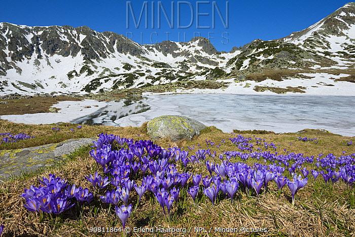 Flowering Spring crocus (Crocus heuffelianus). Retezat National Park, Transylvania, Romania.