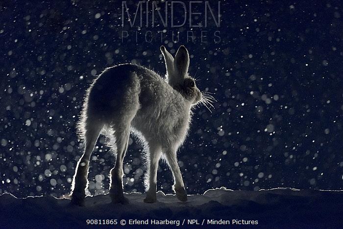 Mountain hare (Lepus timidus). Norway.
