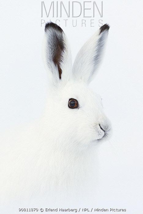 Mountain hare (Lepus timidus) portrait, Vauldalen, Norway.
