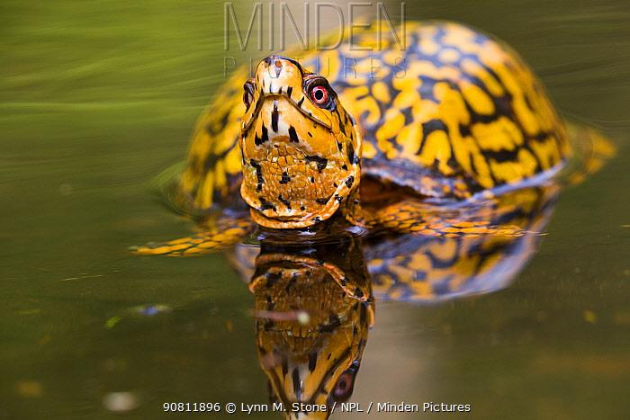 Male Eastern Box Turtle (Terrapene carolina carolina) in wetland stream. East Haddam, Connecticut, USA.