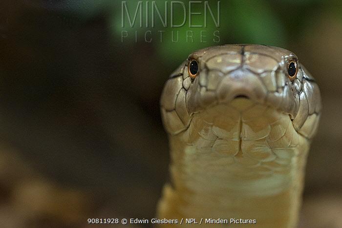 King Cobra (Ophiophagus hannah) captive, occurs in Asia.