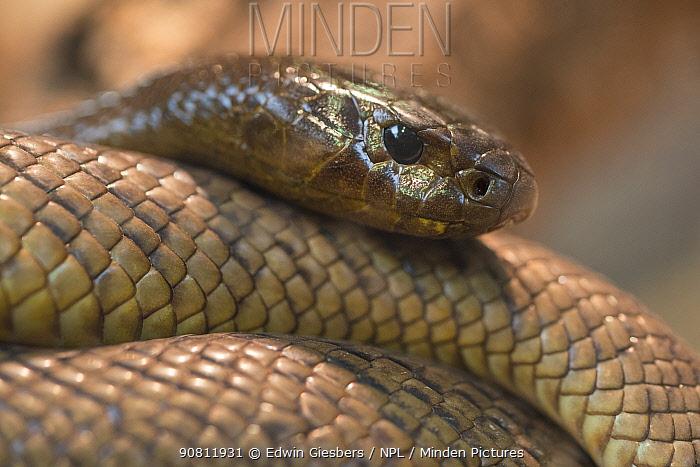 Inland taipan (Oxyuranus microlepidotus) captive. Most venomous snake of the world.