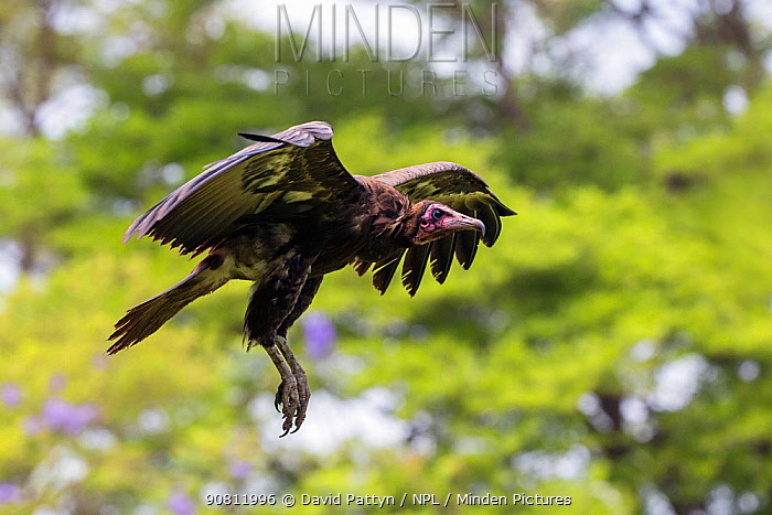 Hooded vulture (Necrosyrtes monachus) in flight Gambia, Africa. May 2016.