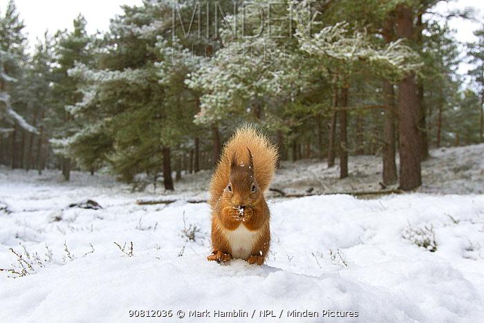 Red Squirrel (Sciurus vulgaris) in woodland habitat in snow. Scotland, UK, December.