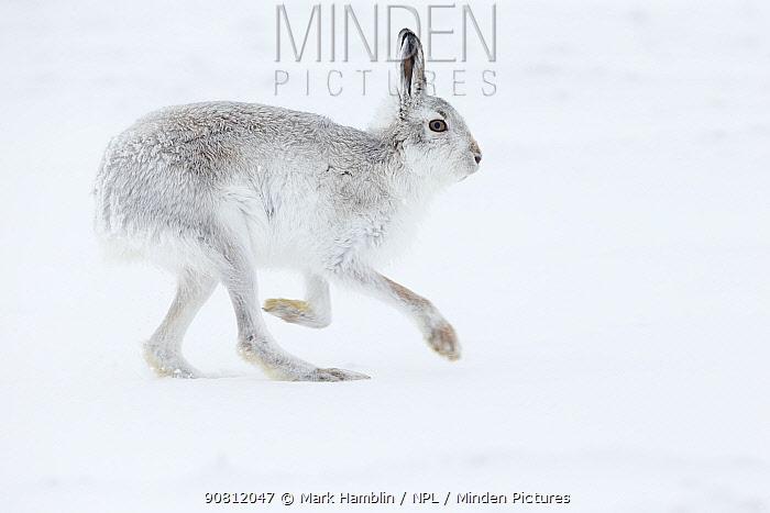 Mountain Hare (Lepus timidus) adult running across snow, Scotland. February.