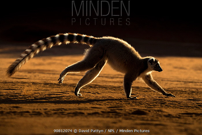 Ring tailed lemur (Lemur catta) running, Berenty Private Reserve, southern Madagascar.