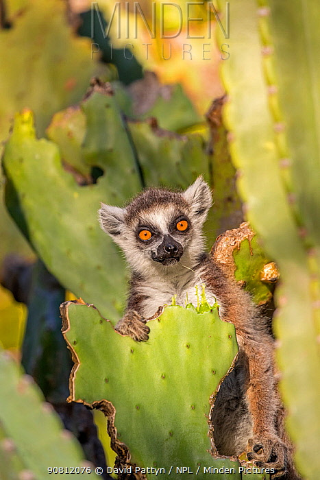 Ring tailed lemur (Lemur catta) feeding on nibbled cactus, Berenty Private Reserve, southern Madagascar.
