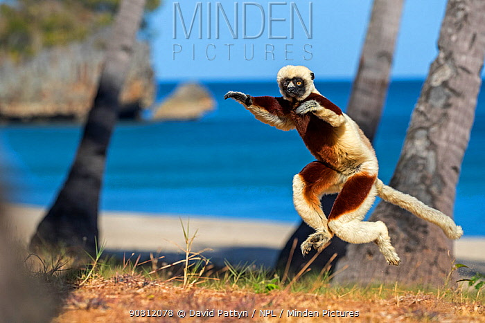 Coquerel's sifaka (Propithecus coquereli) jumping with trees and beach in background, Anjajavy Private Reserve, north west Madagascar.