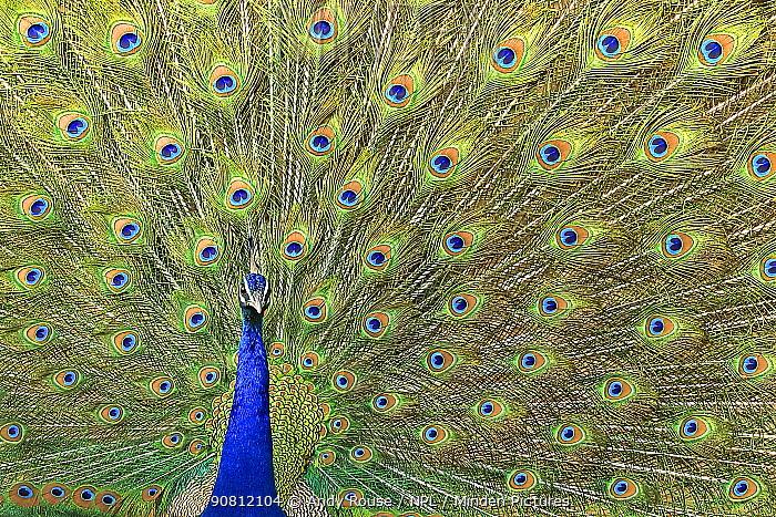 Peafowl (Pavo cristatus) male displaying, Ranthambhore, India. - small repro only