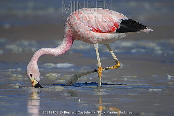 Andean flamingo (Phoenicoparrus andinus) foraging on shore, Laguna Hedionda, Altiplano, Bolivia