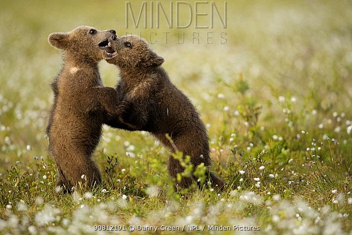 Brown Bear (Ursus arctos) cubs play fighting amongst cotton grass, Finland, June