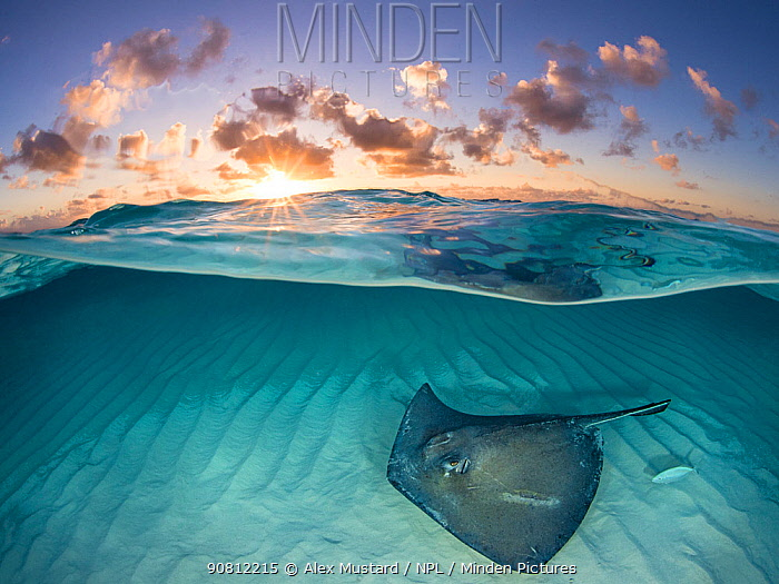 Southern stingray (Dasyatis americana) swimming over sand in shallow water at dawn, Cayman Islands, Caribbean Sea.
